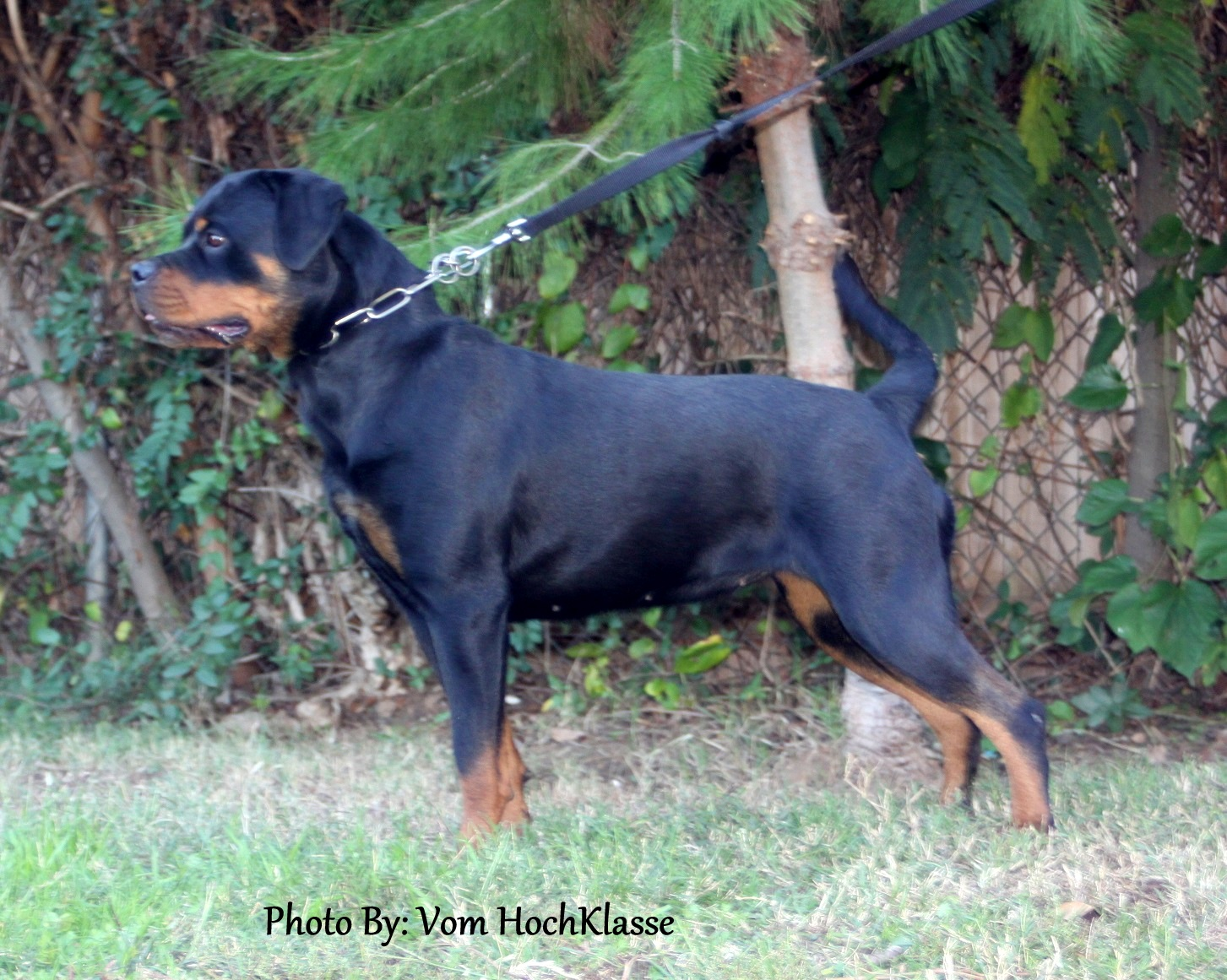 12 18 Month Male Rottweiler Dog For Adoption: Rottweilers Adult Male & Female