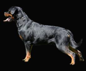 German Rottweiler Standard American Rottweiler Standard Fci Akc
