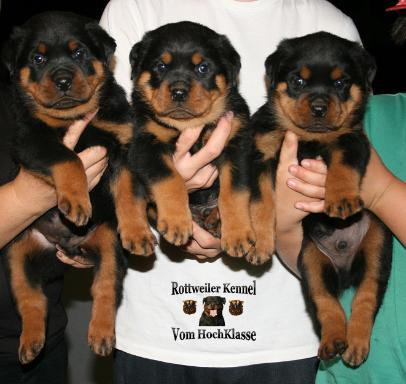 German Rottweilers Puppies For Sale Rottweiler Puppy For Sale